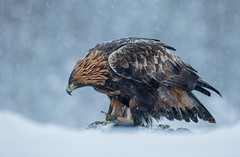 Golden Eagle (Nigey2) Tags: eagle eagles raptor raptors wildlife winter sweden