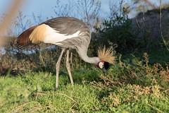 Grue royale - Balearica regulorum - Grey Crowned Crane (TESS4756) Tags: gruiformes réserveafricainedesigean coches grueroyale faunecaptive faune oiseaux thérèseb gruidés 2018