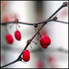 Bayberry (Timothy Valentine) Tags: macro berry 0119 home 52weeks 2019 afsmicronikkor60mmf28ged red week32019 startingtuesdayjanuary152019 52weeksthe2019edition eastbridgewater massachusetts unitedstatesofamerica usa