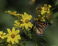 MonarchButterfly_SAF7672 (sara97) Tags: danausplexippus butterfly copyright©2018saraannefinke endangered insect missouri monarch monarchbutterfly nature photobysaraannefinke pollinator saintlouis