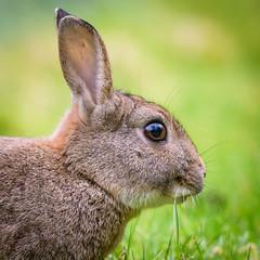 Rabbit (redape99_) Tags: nikon cork forest ireland mammal nature telephoto trees wildlife woodland