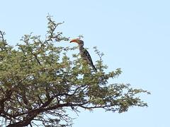 Southern Yellow-billed Hornbill (Oleg Chernyshov) Tags: southernyellowbilledhornbill tockusleucomelas tockusleucomelasleucomelas южныйтоко
