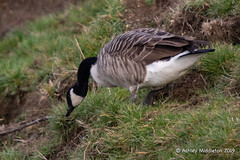 Canada Goose (Ashley Middleton Photography) Tags: inglesham riverthames animal bird canadagoose england europe goosegeese river unitedkingdom wiltshire