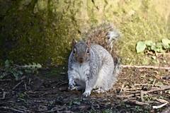 You looking at me? (pstone646) Tags: squirrel animal nature rodent wildlife closeup fauna mammal woodland shadows watching sunshine