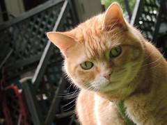 Biscuit the predator (EZRyderx47) Tags: chat cat animal funny drole cute mignon