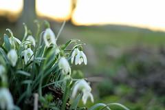 Sunset snowdrops (braddalad123) Tags: outdoor snowdrop flower winter backlit sunset light colour contrast dof nikon d3200 f18 nature plant