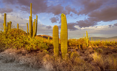 Desert Cactus (Stuart Schaefer Photography) Tags: landscape sunset travelphotography day outdoor tucson sun cactus sonya7m3 sonya7iii travel cloudscape hiking afternoon outdoors arizona sonyalpha sabinocanyonnationalforest sony clouds sky grass