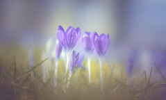 Crocus (Dhina A) Tags: sony a7rii ilce7rm2 a7r2 a7r 135mm f28 t45 stf sony135mmf28stf sal135f28 smoothtransitionfocus minolta smooth soft silky bokeh bokehlicious apodization crocus flower spring