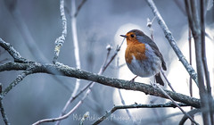 The Resting Robin 2 (Cold Light)