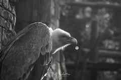 Griffon Vulture #2 (Rolf Sch.) Tags: griffon vulture gyps fulvus bird zoo wildlife dierenpark amersfoort nature animal