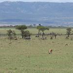 Thomson's gazelles and wildebeest in Masai Mara thumbnail