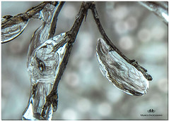 FEBRUARY 2019 NGM_0096_6709-2-222 (Nick and Karen Munroe) Tags: ice icecrystals icestorm icejewels icesculptures crystals crystal branches branch limb tree trees iceformations wintry winter winterwonderland karenick23 karenick karenandnickmunroe karenandnick munroe karenmunroe karen nickandkaren nickandkarenmunroe nick nickmunroe munroenick munroedesigns photography munroephotoghrpahy munroedesignsphotography nature landscape brampton bramptonontario ontario ontariocanada outdoors canada d750 nikond750 nikon nikon2470f28 2470 2470f28 nikon2470 nikonf28 f28 colour colours color colors