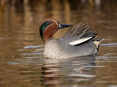 Teal (PhotoLoonie) Tags: duck teal nature wildlife attenboroughnaturereserve waterbird