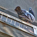 Brockville Ontario - Canada - Rock Pigeon thumbnail