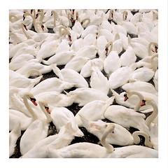 Swans (ngbrx) Tags: abbotsbury dorset england swannery schwanerei swans schwäne grossbritannien great britain uk united kingdom white weiss