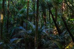 Fernglen Nikau Grove (fate atc) Tags: auckland billandmurielfisher birkenhead fernglen nznativeplants newzealand nikaugrove northshore bush ferns offkaurird plants trees
