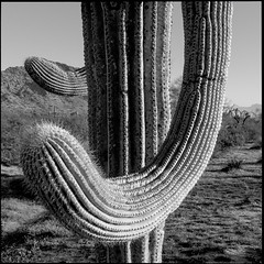 Ready For A Fight (greenschist) Tags: usa sonorandesert cactus cacti mountains blackwhite arizona saguaro pinalcounty carnegieagigantea santanmountainregionalpark