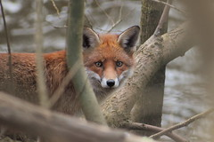 Foxes in Glasgow (jamiemcd17) Tags: river kelvin fox red wild wildlife nature nikon mammal