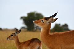 Ugandan kob (Kobus kob thomasi) flehmen response (supersky77) Tags: uganda murchisonfallsnationalpark wilderness wildlife africa