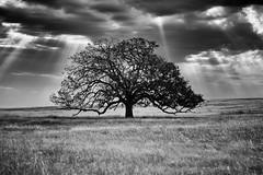 Solitary Oak (Alan Comer) Tags: tree silhouette sunrays godrays blackandwhite bw solitary lone lonetree