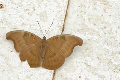 Euthalia evelina ssp. vallona - Chiang Dao_20180203_1339_DSC_7775_DxO (I love comments but delete awards - Jan F. Rasmuss) Tags: thailand d800 butterfly butterflies macro closeup insecta lepidoptera rhopalocera nikon janfischerrasmussen janfrasmussen asia southeastasia nymphalidae nymphalid nymphalids limenitidinae doi chiangmai chiangmaiprovince euthalia euthaliaevelinasspvallona evelina vallona