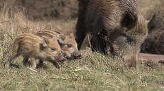 Wild boar and piglets (Ian howells wildlife photography) Tags: ianhowells ianhowellswildlifephotography nature naturephotography nationalgeographic canon canonuk pig piglets humbug wildlife wildlifephotography wild
