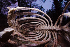 Elk Bones (Ed Cheremet) Tags: arizonasunrise elkbones flagstaff genre moments nature sunrise arizona bones death edcheremet edszeremet edszeremetgmailcom elk elkskeleton flagstaffarizona httpedcheremetartistwebsitescom me pine pinetree skeleton tree