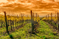 Vineyards of San Colombano, Italy (clodio61) Tags: europe italy lombardy milan sancolombanoallambro agriculture autumn color country day fall green hill landscape nature outdoor photography plant plantation rural sunny vine vineyard