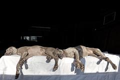 sleeping beauties 12/52 (ruthinea) Tags: 52weeksfordogs juno weimaraner sisters sleeping synchronized sunshine bed