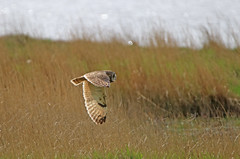 IMG_3263 (Gronk 08) Tags: parkgate wirral short eared owl wild bird cheshire