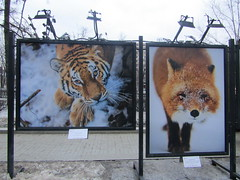 street exhibition (VERUSHKA4) Tags: photography fox tiger animal nature red canon europe russia moscow ville city vue view cityscape boulevard outdoor street tverskoyboulevard two deux exhibition lamp head eyes march spring beautiful art snow white orange neige neve nose