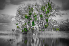 Black and White with a Hint of Green [March 4, 2019] (Rohit KC Photography) Tags: blackandwhite reflection selectivecolor green water sky trees leaves branches clouds vignette misty mist outdoors nature beautifulnature edited march2019 longexposure le colorisolation focused dark bright canon canonphotos canonphotography canon5dmarkii canonef24105f4l usa cali california hobby photographer photography photo photographyart art landscape landscapephotography