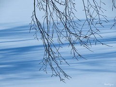 Winter Branches - Branches d'hiver (monteregina) Tags: file:name=nb201803116276 québec canada hiver winter neige snow landscape paysage branches branchs silhouettes monteregina ottawariver winterlandscapes rivièredesoutaouais treefractalsbranches fractalesdarbresbranches patterns arbre tree noleaves pasdefeuilles baretree arbrenu blueshadows ombesbleues shadows ombres ombrage light lumière paysagedhiver blueslines stripes bandes blaueschnee blue bleu abstrait abstract shades layers winterabstract bleue minimalism minimalisme paysageminimaliste minimalistlandscape blueripples ondulationsbleues réflexionsabstraites abstractreflections minimal ondulatonsabstraites layersofblueshadow lines linesabstract lignesabstraites texture