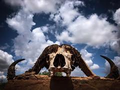Buffalo (baptistedavid1) Tags: afrique sky safari nuage bleu ciel tête buffle buffalo kenya
