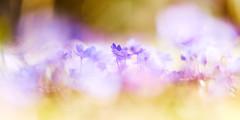 Celestial (matt.kueh) Tags: flower blume spring frühling liverwort kidneywort hepaticanobilis leberblümchen bokeh magic bokehlicious vintagelens m42 depthoffield sonyilce7m2 helios40285mmf15
