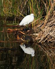 Little Egret and Terrapin (Wild Chroma) Tags: egretta garzetta egrettagarzetta egret birds nonpasserines ludo riaformosa portugal terrapin reflections