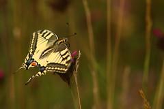 Swallowtail (Derbyshire Harrier) Tags: butterfly papiliomachaon meadow 2018 romania transylvania swallowtail naturetrek june summer strâmbeivalley
