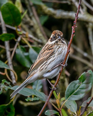 Mrs Reed Bunting (Rivertay07 - thanks for over 5 million views) Tags: birds gardenbirds richardstead rivertay copyrightprotected bunting reedbunting emberizashoeniclus