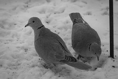 Watching Out For My Love (Tammy Strot) Tags: doves dove bird birds birdwatchers birdphotography photography canon canonusa canonphotography nature naturephotography outdoor outdoorphotography outside outsiepgotography blackandwhite bw blackandwhitephotography bwphotography