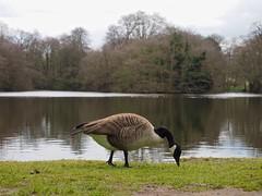P3190713 (simonrwilkinson) Tags: beltonhouse grantham lincolnshire bird canadagoose