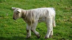 A jacket on a wooly coat (moniquerebanks) Tags: lam lammetje lamb sheep closeup spring springtime wooly farmanimal coat nikond7100 protection field lamm agneau countryliving countryside