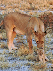 Lioness nudging one of her cubs (BaliDave2) Tags: namibia wildlife lioness lion cubs africa 2018 lioncubs