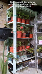 Shelving with Geraniums on balcony wall from outside 20th March 2019 (D@viD_2.011) Tags: shelving with geraniums balcony wall from outside 20th march 2019
