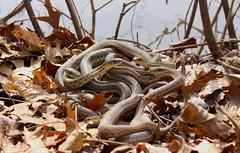 Eastern Garter Snakes, Bucks County, PA, March 2019 (sstaedtler) Tags: snake garter herping wildlife nature outside animal buckscountypa pennsylvania reptile spring