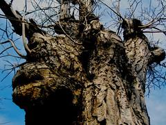 (bekasukhitashvili) Tags: tree cracks sky blue branch