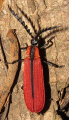 net-winged beetle (Birdernaturalist) Tags: coleoptera costarica lycidae richhoyer