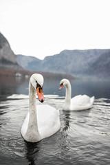 Swans of Hallstatt (Matej Rajtár) Tags: hallstatt austria osterreich view panorama village famous lake reflection autumn fall colors colours swan swans animal animals