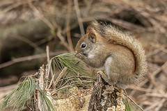 American Red Squirrel (will139) Tags: squirrel sciuridae rodent treerat mammal animal wildlife outdoors wild furry nature beautyinnature fauna whiskers cute animalsinthewild woodland forest americanredsquirrel tamiasclurushudsonicus hudsonsbaysquirrel pinesquirrel