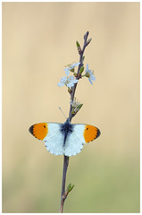 Orange Tip (nigel kiteley2011) Tags: orangetip anthochariscardamines insects nature lepidoptera butterfly butterfrlies macro canon 5dmk3 canoneos5dmk3