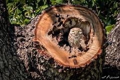 Little OWL hidden in the oak tree Shot with Nikon D500 and Sigma 150-600mm (ebrahemhabibeh) Tags: